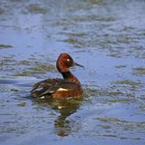 Ferruginous duck on a lake Stock Image