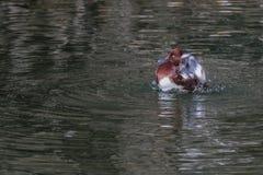 Ferruginous Duck. Stock Photography