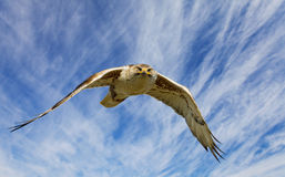 Ferruginous flight Royalty Free Stock Image