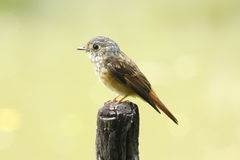 Ferruginous Flycatcher Stock Images