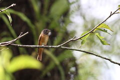 Ferruginous Flycatcher Stock Image
