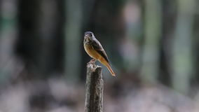 Ferruginous Flycatcher Muscicapa ferruginea Cute Birds of Thailand stock video footage
