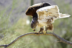 Ferruginous hawk Stock Photography