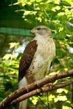 Ferruginous Hawk. A ferruginous hawk perched on a branch Stock Photo