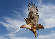Ferruginous Hawk. Large Ferruginous Hawk in flight with blue sky background Stock Photos