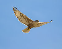 Ferruginous Hawk royalty free stock photography