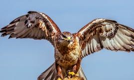 Free Ferruginous Hawk Stock Photography - 90189752