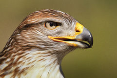 Ferruginous Hawk Stock Images