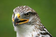 Ferruginous Hawk Stock Photography