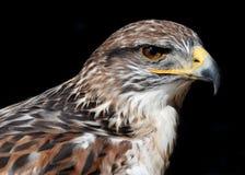 Ferruginous Hawk on black Stock Photography
