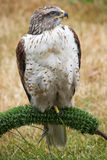 Ferruginous Hawk  Brown Feathers Stock Photo