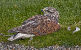 Ferruginous Hawk  Brown Feathers Stock Images