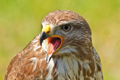 Ferruginous hawk or Butea regalis Royalty Free Stock Photos