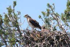 Ferruginous hawk (Buteo regalis) Royalty Free Stock Photo