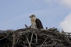 Ferruginous hawk (Buteo regalis) Stock Photo