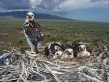 Ferruginous hawk (Buteo regalis) Royalty Free Stock Photos