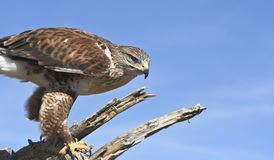 A Ferruginous Hawk on an Old Snag. A Ferruginous Hawk, Buteo regalis, on a Snag Against a Blue Sky Royalty Free Stock Photography