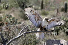 Ferruginous hawk controlled situation Royalty Free Stock Image