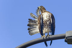 Ferruginous hawk, don edwards nwr, ca Royalty Free Stock Image