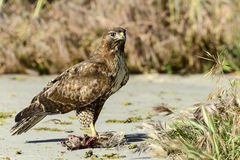 Ferruginous hawk, don edwards nwr, ca Royalty Free Stock Images