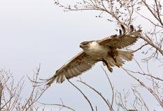 Ferruginous hawk in flight. At nest Saskatchewan Canada flying Royalty Free Stock Photography