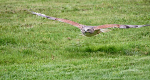 Ferruginous hawk in flight Stock Image