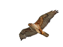 Ferruginous Hawk Isolated Royalty Free Stock Photos