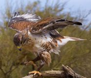 Ferruginous Hawk. Majestic Ferruginous Hawk in the Arizona Desert Royalty Free Stock Photo