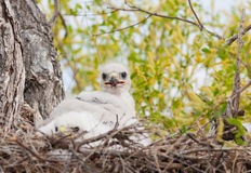 Ferruginous Hawk Nest. Young Ferruginous hawk chicks in their nest with traces of blood from their last meal.  Focus on chick sitting up Stock Photo