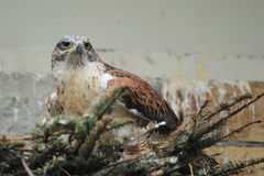 Ferruginous hawk Royalty Free Stock Photos