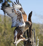 A Ferruginous Hawk on an Old Snag Royalty Free Stock Photos