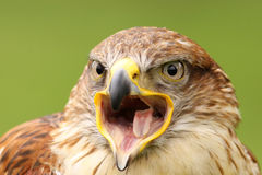 Ferruginous hawk with open beak Stock Image