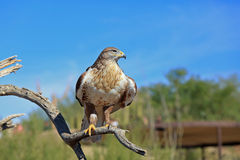 Ferruginous hawk on a perch Stock Image