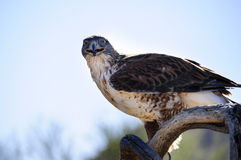 Ferruginous Hawk Royalty Free Stock Photo