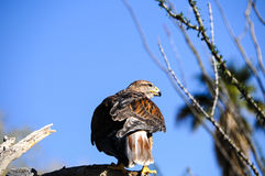 Ferruginous Hawk Royalty Free Stock Images