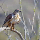 Ferruginous Hawk Stock Image