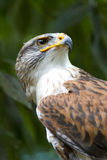 Ferruginous Hawk portrait Stock Photography