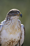 Ferruginous Hawk in profile Stock Photos