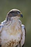 Ferruginous Hawk in profile. Ferruginous Hawk (Buteo regalis) female surveys the area for any small animals as prey Stock Photos