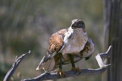 Ferruginous Hawk at the ready. Ferruginous Hawk (Buteo regalis) prepares for takeoff in pursuit of prey Stock Image