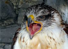 Ferruginous hawk screaming. Bird screaming close up at a falconry show Stock Photo
