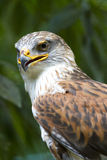 Ferruginous Hawk stare Royalty Free Stock Photos