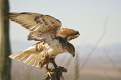 Ferruginous Hawk taking off Royalty Free Stock Images