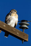 Ferruginous Hawk Royalty Free Stock Photo