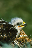Ferruginous Hawk Young Stock Images
