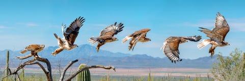 Ferruginous jastrzębia latanie Odosobniony jastrząb sekwencji niebieskie niebo zdjęcia stock