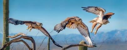 Ferruginous jastrząb na gałąź w Sonoran pustyni latania sekwencji zdjęcie royalty free