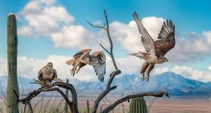 Ferruginous jastrząb na gałąź w Sonoran pustyni latania sekwencji zdjęcia stock
