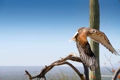 Ferruginous jastrząb na gałąź w Sonoran pustyni lataniu fotografia royalty free