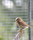 ferruginous owlpygmy Royaltyfria Bilder